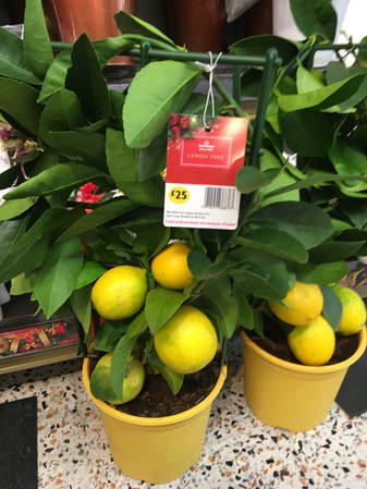 stunning little lemon trees with fragrant blossom and splendid lemons on sale at the supermarket i wished i had somewhere suitable